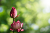 Pink lotus flowers on blurred green bokeh background with soft sunlight - 168853248