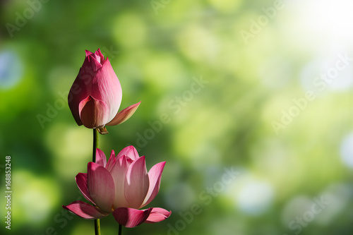 Pink lotus flowers on blurred green bokeh background with soft sunlight