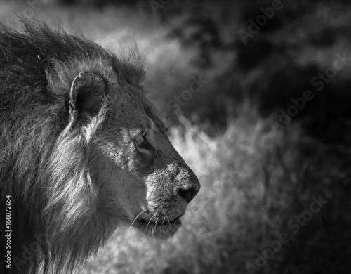 Lion © Ladina