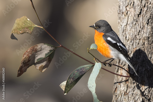 Male Flame Robin (Petroica phoenicea) photographed at Woodlands Historic Park Melbourne Australia