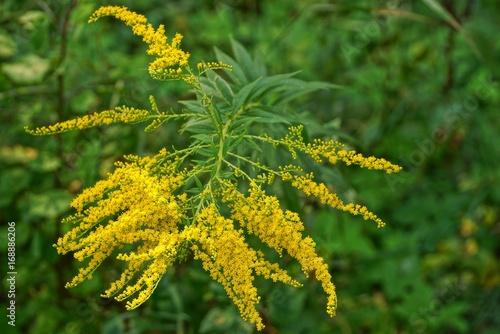 яркий фон из веток жёлтых диких цветов и зелёных листьев