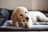 Golden retriever dog puppy playing with toy - 168887075