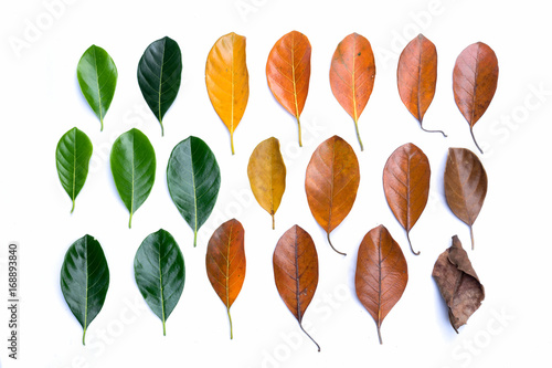 Creative layout of colorful autumn leaves. Flat lay. Season concept. isolated on white background
