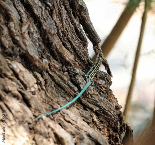 Gekko, Eidechse mit blauen Schwanz, Agame am Baumstamm