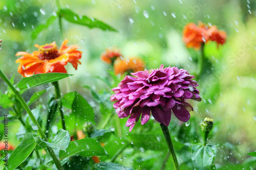 Flower zinnia in the rain