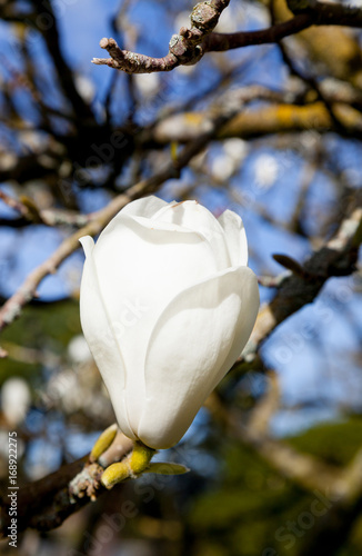 Magnolia tree flower on a sunny day Poster