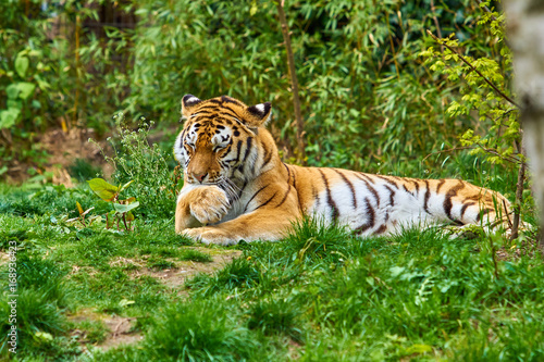 Tiger in forest. Tiger in the nature