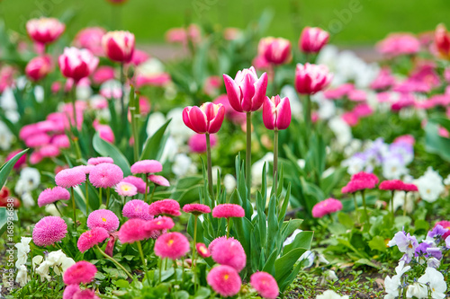 Fotobehang Tulpen Spring flowers background. Beautiful tulip flower