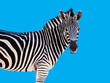 zebra face straight Blue background