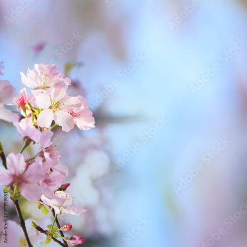 realistic sakura cherry branch with blooming flowers with nice background color