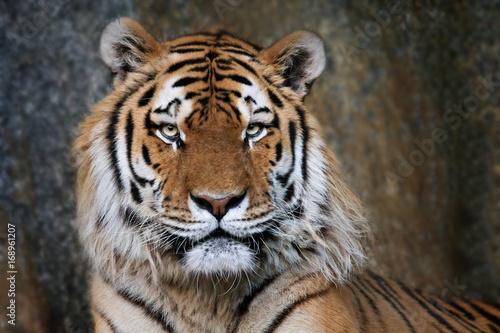 Imposanter Tiger - Portrait