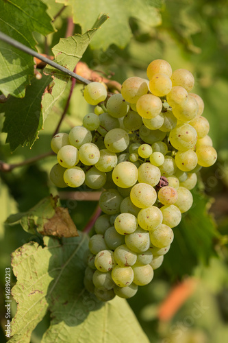 Large bunches of grapes ripen against a background of greenery, close-up