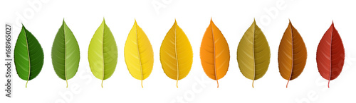 Autumn leaf set arranged in color palette in row, isolated on white, for autumn design and decoration. Realistic vector illustration. © schondrienn