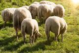 Schafherde fressen Wiese Gegenlicht - 168970017
