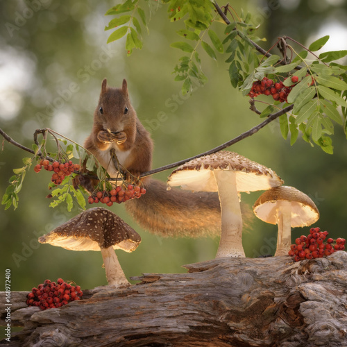 squirrel standing on a branch with rowanberry