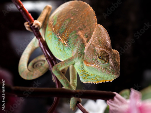 Green chameleon. Portrait of an exotic animal. Macro
