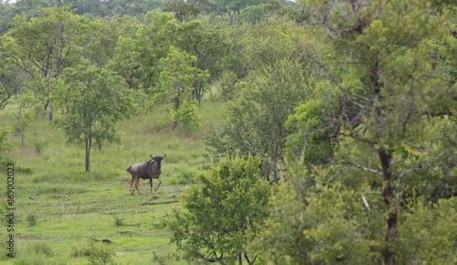 Foto op Plexiglas Zanzibar Wild wildebeest in the Selous Game Reserve, Tanzania (Africa)