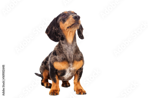 Dachshund dog looking in the side on a white background