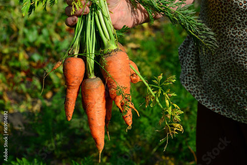Female hands hold a bunch of carrots. Outdoors