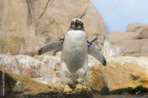 Fotobehang Pinguin Pinguino