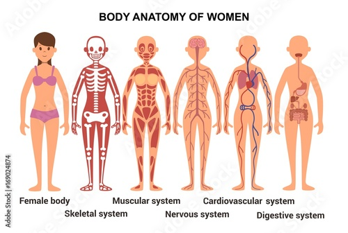 Anatomy of the female body. Anatomical poster. Skeletal and muscular system, nervous and circulatory system, human digestive system