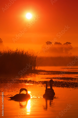 Fotobehang Zwaan Swans on a lake covered with morning mist lit by the rising sun