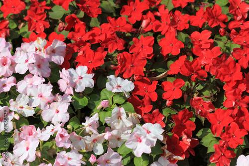 Цветущий Бальзамин уоллера (Impatiens walleriana)