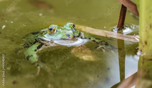 Fotobehang Kikker Frosch im Gartenteich