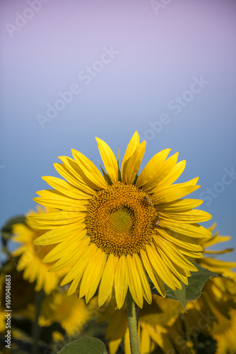 Fotobehang Purper Sunflower , pampas , Argentina