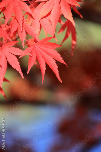 Fotobehang Rood paars 紅葉