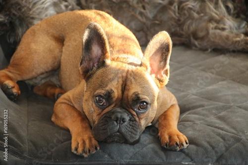 Fotobehang Franse bulldog French Bulldog