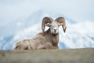 Bighorn © Jillian