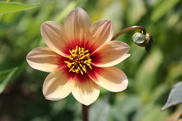 Orange single dahlia with bright pink center