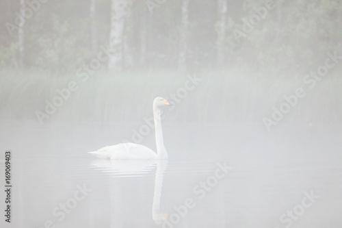 Fotobehang Zwaan Swan swimming in foggy forest pond