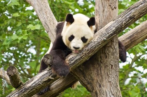 Aluminium Panda panda