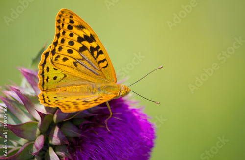 Cardinal (Argynnis pandora) butterfly perched on a Cotton thistle flower Poster
