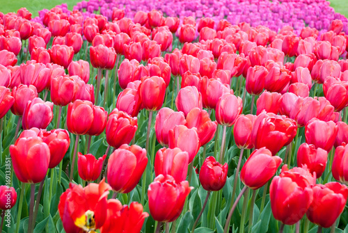 Fotobehang Tulpen Tulip. Beautiful bouquet of tulips