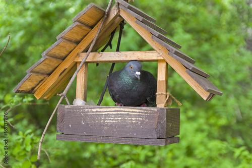 Dove in the bird feeder
