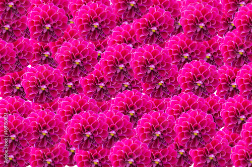 Fotobehang Roze colorful of dahlia and green leaf with sun light,