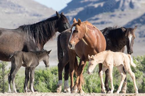 Wild mustang foals with herd in field Plakát