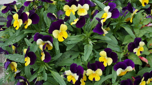 pansy yellow purple flower