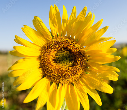 Fotobehang Geel Sunflower flowers grow on nature