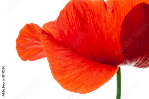 Fotobehang Rood wonderful isolated red poppy flower, white background. studio shot, closeup