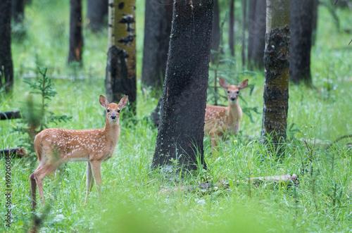 Fotobehang Hert Deer