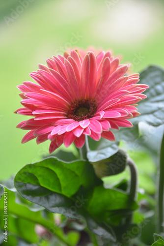 Fotobehang Gerbera Pink daisy