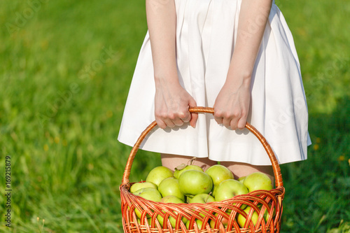 Large green ripe apples in a wicker basket at the end of summer in sunlight in the green grass in the garden