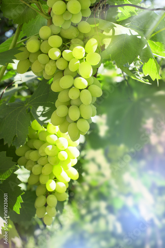 Clusters of green ripe grapes in a garden