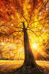 Große Buche im Herbst mit gold gelben Blättern