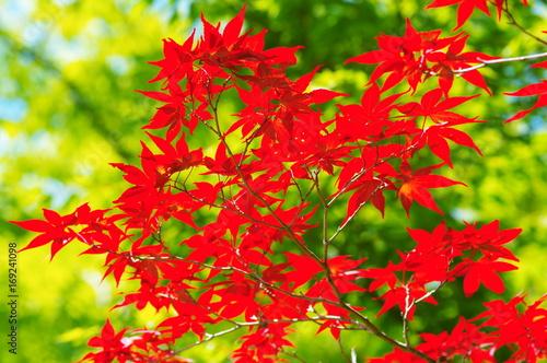 Foto op Canvas Rood 真っ赤に色付いた紅葉