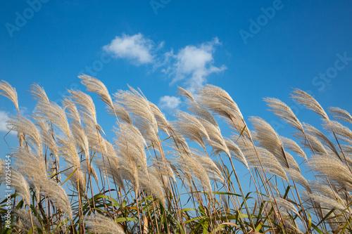 Naklejka 푸른하늘 억새꽃